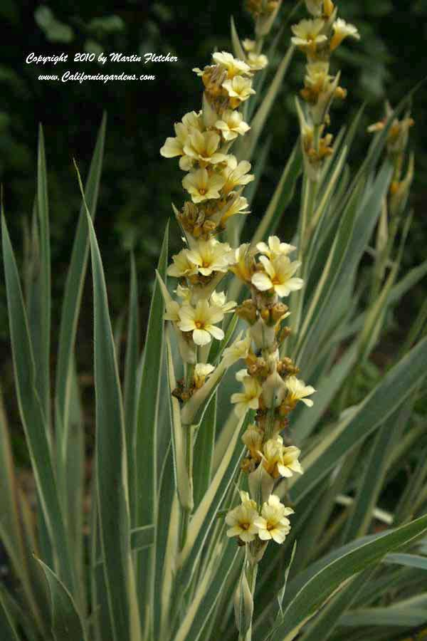 Sisyrinchium striatum Aunt May, Variegated Satin Flower