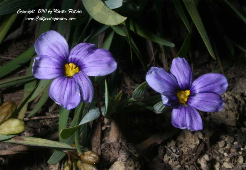 Sisyrinchium bellum Rocky Point, Rocky Point Blue Eyed Grass