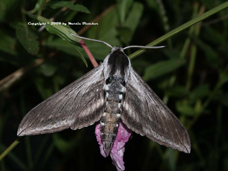 Great Ash Sphinx, Sphinx chersis