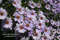 Aster chilense, California Aster, Pacific Aster