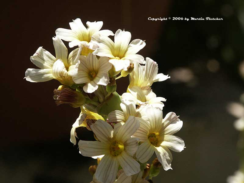 Sisyrinchium striatum, Satin Flower, Rush Lily