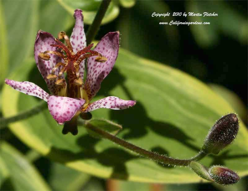Tricyrtis hirta, Toad Lily