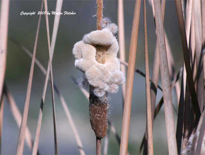 Typha domingensis, Southern Cattail