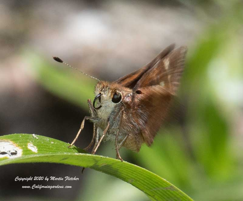 Female Umber Skipper on a blade of grass