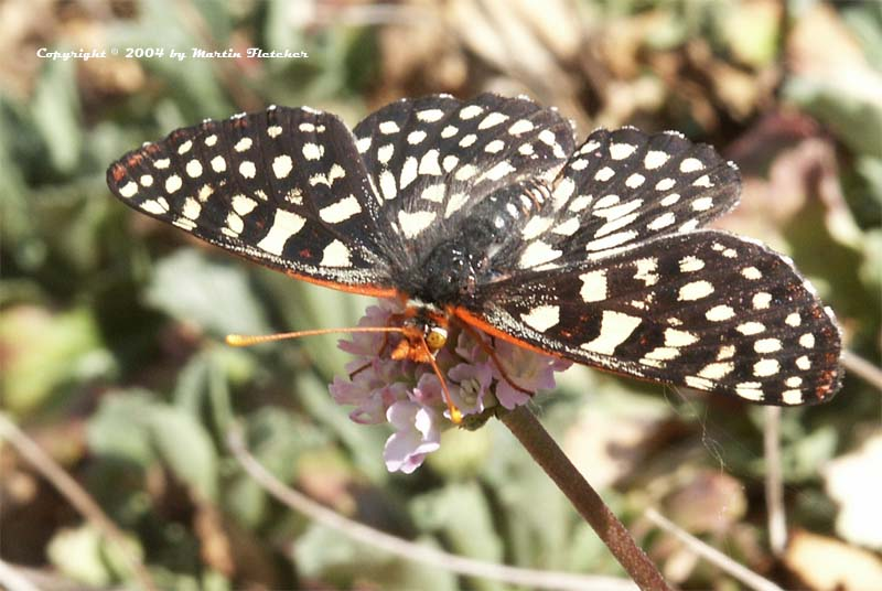 Variable Checkerspot Butterfly, Eyphydryas chalcidona