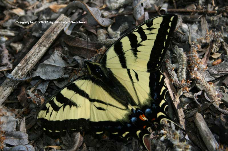 Western Tiger Swallowtail, Papilio rutulus