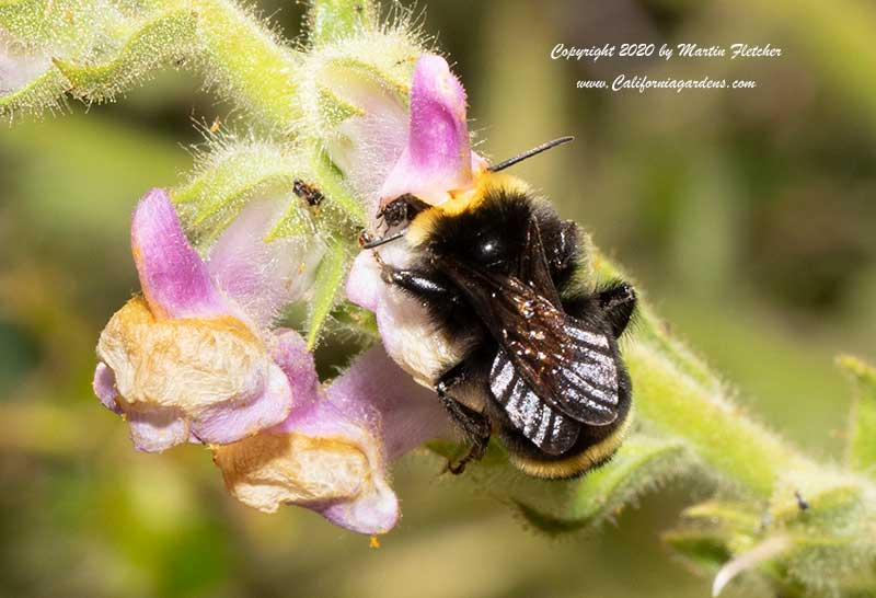 Yellow Faced Bumblebee, Bombus vosnesenskii