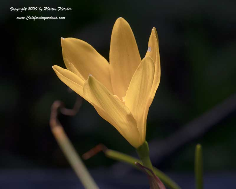 Zephyranthes citrina, Yellow Rain Lily, Citron Zephyr Lily