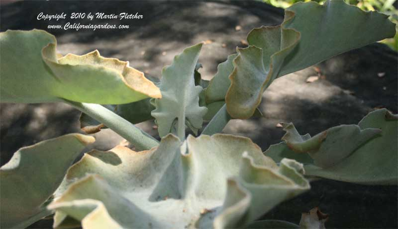 Kalanchoe beharensis, Velvet Elephant Ear